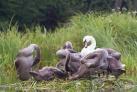 Schwaene auf dem Fluss krutinna Masuren