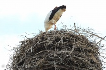 Storch in Masuren-waehrend einer Radreise durch Masuren
